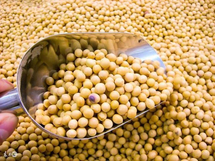 soybean for making soymilk and tofu