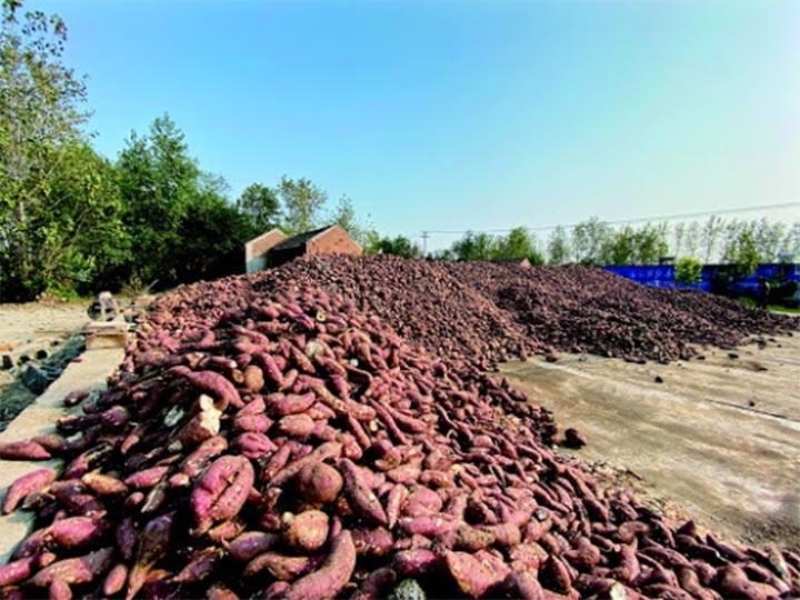 sweet potato planting in Uganda